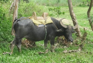 5-16-15 - Bayawan City, Negros Oriental - A Carabao with wooden Saddle