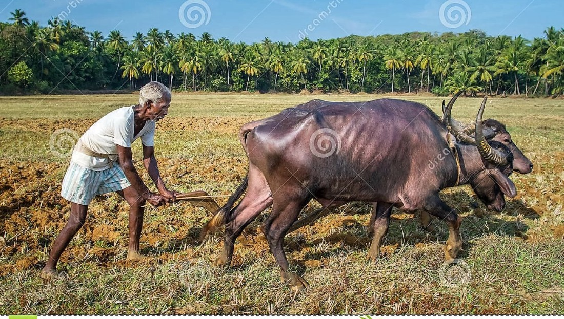farmers-plowing-agricultural-field-traditional-way-goa-india-december-where-plow-attached-to-bulls-december-goa-46717865 (2).jpg